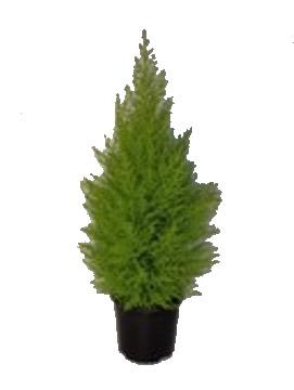 Cipres wilma conifera arbustiva planta de exterior for Vivero alcorcon