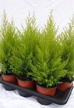 Planta De Exterior - Conifera Arbustiva - CIPRES AMARILLO WILMA MACETA 13CM 45CM ALTO