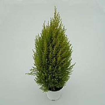 Planta De Exterior - Conifera Arbustiva - Cipres Amarillo Wilma Maceta 14cm Y Alto 40cm