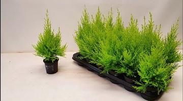 Planta De Exterior - Conifera Arbustiva - Cipres Amarillo Wilma Maceta 9cm Y Altura 20cm