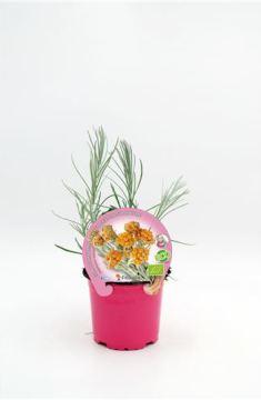 Planta De Exterior - Plantas Aromaticas Ecologicas - Curry Ecologico Maceta 10,5 Cm