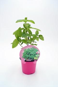 Planta De Exterior - Plantas Aromaticas Ecologicas - Hierbabuena Ecologica Maceta 10,5cm