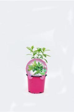 Planta De Exterior - Plantas Aromaticas Ecologicas - Hierba Luisa Ecologico Maceta 10,5cm