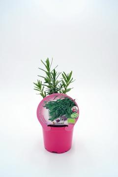 Planta De Exterior - Plantas Aromaticas Ecologicas - Lavanda Ecologica Maceta 10,5cm