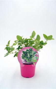 Planta De Exterior - Plantas Aromaticas Ecologicas - Oregano Ecologico Maceta 10,5cm