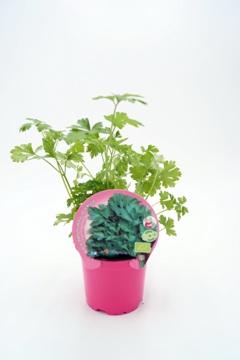 Planta De Exterior - Plantas Aromaticas Ecologicas - Cilantro Ecologico Maceta 10,5cm