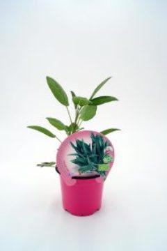 Planta De Exterior - Plantas Aromaticas Ecologicas - Salvia Ecologica Maceta 10,5cm
