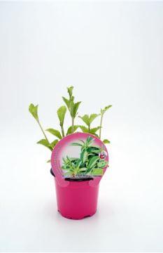 Planta De Exterior - Plantas Aromaticas Ecologicas - Stevia Ecologica Maceta 10,5cm