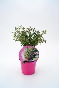 Planta De Exterior - Plantas Aromaticas Ecologicas - Tomillo Ecologico Maceta 10,5cm
