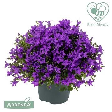 Planta De Exterior - Plantas Vivaces - Campanula Ambella Purple Alto 15cm Y Maceta 10,5cm