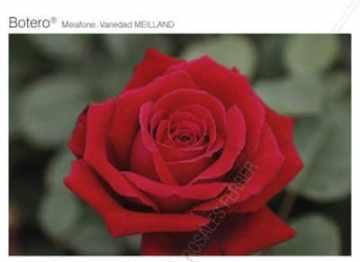 Planta De Exterior - Rosales - Rosal Perfumado Botero Rojo C20