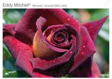 Planta De Exterior - Rosales - Rosal Perfumado Eddy Mitchel Rojo C20