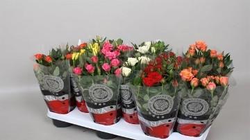 Planta De Exterior - Rosales - Rosal Mini Kordana Mix Maceta 10,5cm