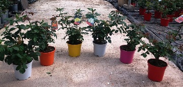 Planta De Exterior - Rosales - Rosal Perfumado M17 Cm