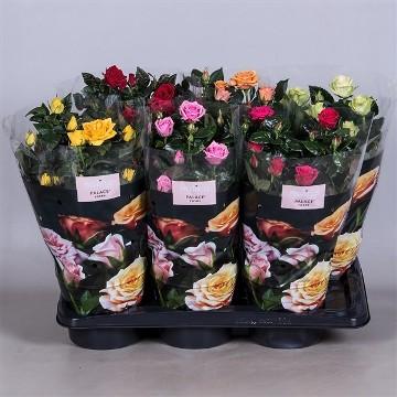 Planta De Interior - Planta Interior Flor - Rosal Mini M10,5