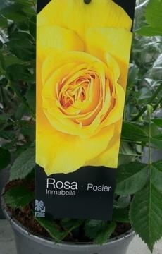 Planta De Exterior - Rosales - Rosal Perfumado Inmabella Amarillo C17