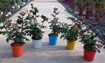 Planta De Exterior - Rosales - Rosal Perfumado Arbustivo Maceta 17cm
