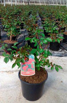 Planta De Exterior - Rosales - Rosal Sevillana Maceta 17cm