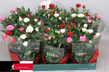 Planta De Exterior - Rosales - Rosal Kordana Carnaval Maceta 21cm