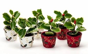Planta De Interior - Plantas De Navidad - ACEBO MINI CON MACETA DECORATIVA