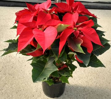Planta De Interior - Plantas De Navidad - FLOR DE PASCUA M14,5 WEB