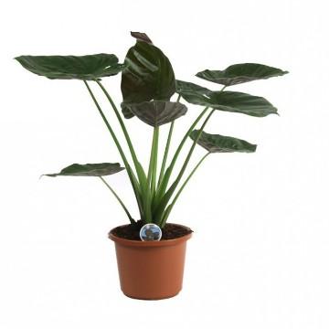 Planta De Interior - Planta Interior Hoja - Alocasia Wentii Altura 70cm Maceta 22cm