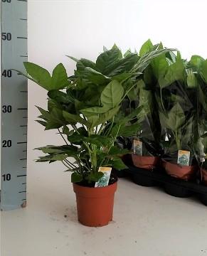 Planta De Interior - Planta Interior Hoja - Aralia Japonica Altura 30cm Y Maceta 13cm