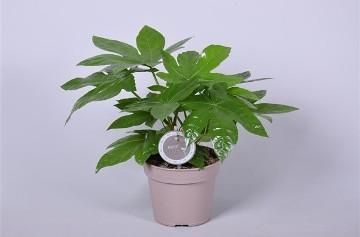 Planta De Interior - Planta Interior Hoja - Aralia Japonica Maceta 15cm