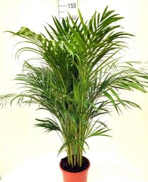 Planta De Interior - Planta Interior Hoja - Areca 120cm Altura Maceta 22cm