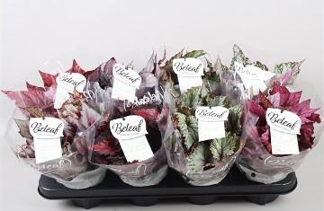 Planta De Interior - Planta Interior Hoja - Begonia Beleaf Color Maceta 12cm Y Alto 15cm
