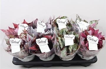 Planta De Interior - Planta Interior Hoja - Begonia Mix Color Maceta12cm