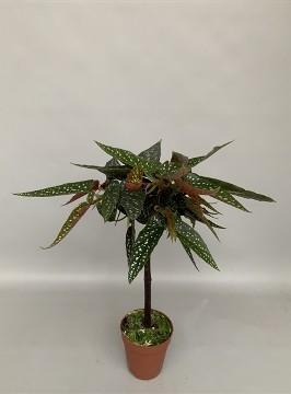 Planta De Interior - Planta Interior Hoja - Begonia Tamaya  Alto 30cm Y Maceta 9cm