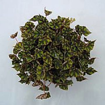 Planta De Interior - Planta Interior Hoja - Begonia Tiger Tarrina 22cm
