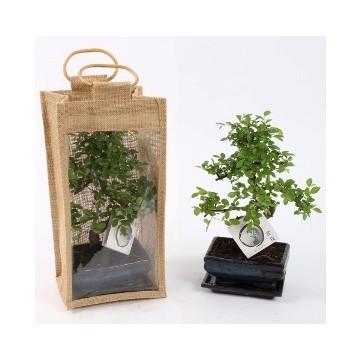 Planta De Interior - Planta Interior Hoja - Bonsai Ceramica Maceta 15cm