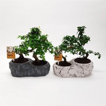 Planta De Interior - Planta Interior Hoja - Bonsai Maceta Rock 2uds
