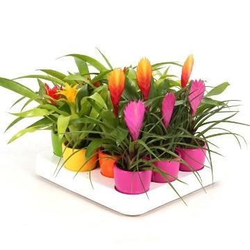 Planta De Interior - Planta Interior Hoja - Bromelia Mix Maceta Ceramica 7cm