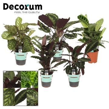 Planta De Interior - Planta Interior Hoja - Calathea Mix Maceta 12cm