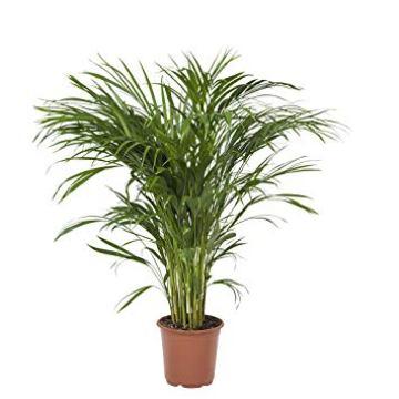 Planta De Interior - Planta Interior Hoja - Chamaedorea Elegans Altura 60cm Y Maceta 17cm