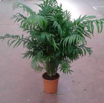 Planta De Interior - Planta Interior Hoja - Chamaedorea Elegans Altura 50/60 Y Maceta 17cm