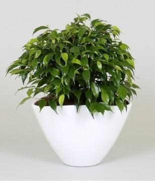 Planta De Interior - Planta Interior Hoja - Ficus En Ceramica M18cm