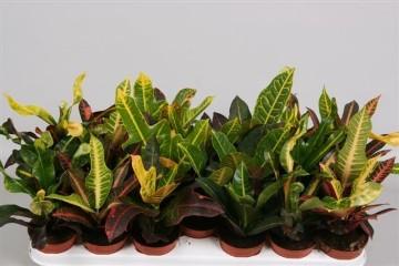 Planta De Interior - Planta Interior Hoja - Croton Mix Maceta De 8,5 Cm