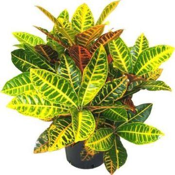Planta De Interior - Planta Interior Hoja - Croton Petra Alto De 40cm Y Maceta 17cm