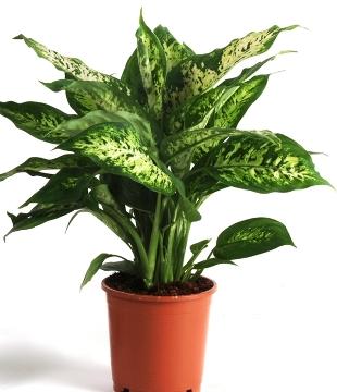 Planta De Interior - Planta Interior Hoja - Dieffenbachia Compacta C17