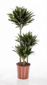 Planta De Interior - Planta Interior Hoja - Dracena Compacta  Alto Troncos 90/60/30cm M22