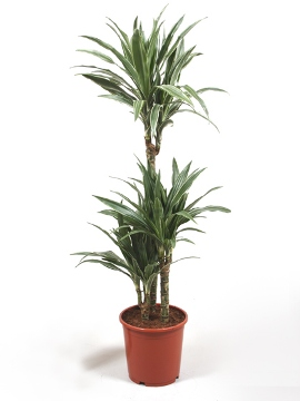 Planta De Interior - Planta Interior Hoja - Dracena Deremensis Alto Troncos 90/60/30cm M22