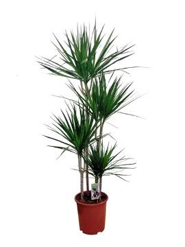 Planta De Interior - Planta Interior Hoja - Dracena Marginata Alto Troncos 60/30/15cm M20