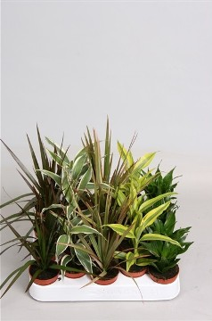 Planta De Interior - Planta Interior Hoja - Dracena Mix Maceta 5,5cm
