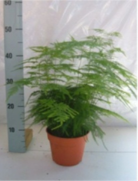 Planta De Interior - Planta Interior Hoja - Esparraguera Setaceus M17