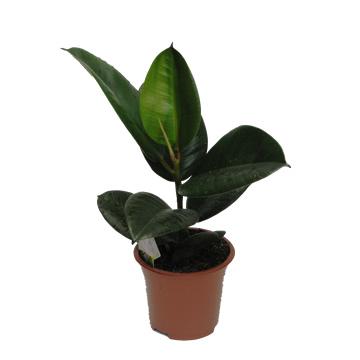 Planta De Interior - Planta Interior Hoja - Ficus Elastica Variedades M14