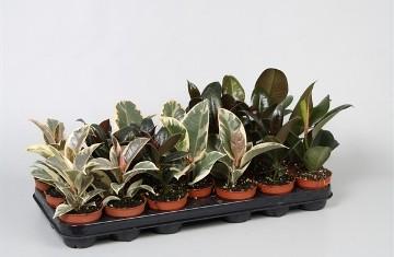 Planta De Interior - Planta Interior Hoja - Ficus Elastica Variado Maceta 8,5cm